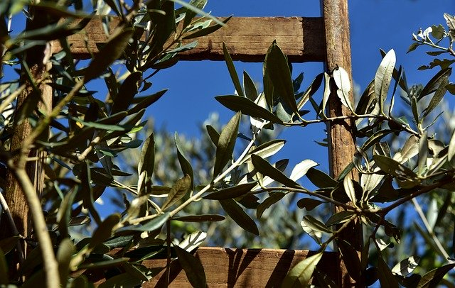 Wooden ladder in an olive tree